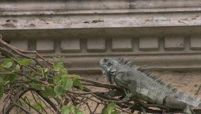 iguana crawls on vegetation on derelict building, Bobs head