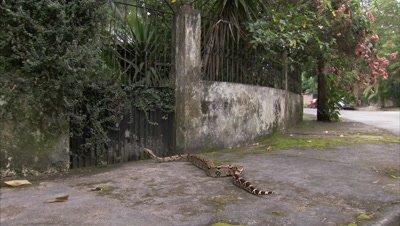 Boa Snake Crosses Pavement in City Neighborhood