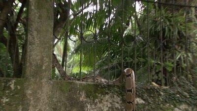 Boa Snake Crawls Up and Over Garden Wall in City Neighborhood