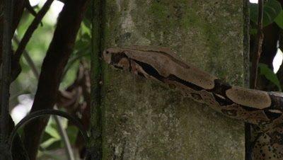 Boa Snake Crawls on Garden Wall in City Neighborhood
