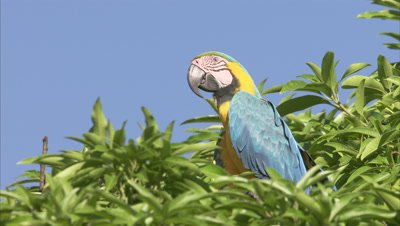 Blue-and-Yellow Macaw Perched in Tree