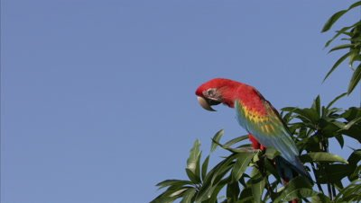 Scarlet Macaw Perched in Tree, Flies Away