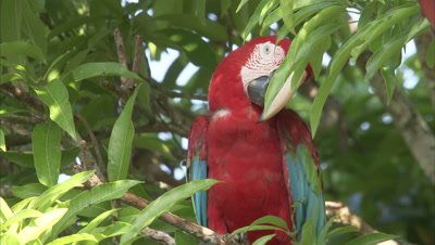 Scarlet Macaws Perched in Tree