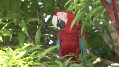 Scarlet Macaw Perched in Tree