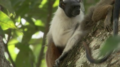 Pied Tamarin Grooming in Tree
