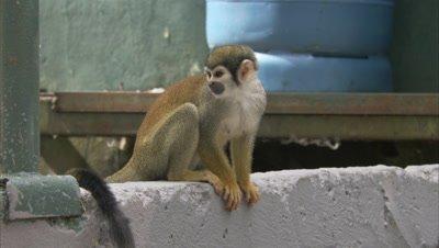 Mischievous Squirrel Monkeys at Play Around Hotel Grounds