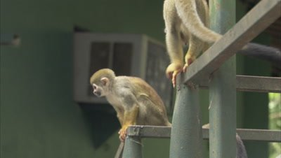 Mischievous Squirrel Monkeys at Play Around Hotel Grounds, Jump on Bannister