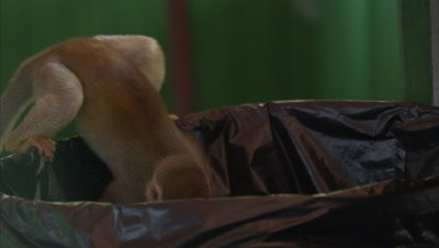 Mischievous Squirrel Monkey at Play Around Hotel Grounds, Enters Garbage Can
