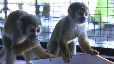 Mischievous Squirrel Monkeys at Play Around Hotel Grounds, Eat Sugar from Bowl