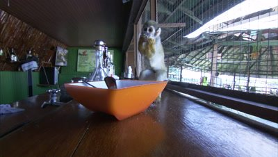 Mischievous Squirrel Monkey at Play Around Hotel Grounds, Eats Sugar From Bowl