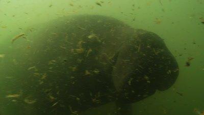 Close Up Manatee in Murky Water, Possibly Captivity