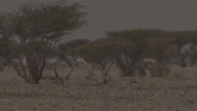 Arabian Oryx Behind trees,Heatwave