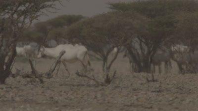 Arabian Oryx In Scrub