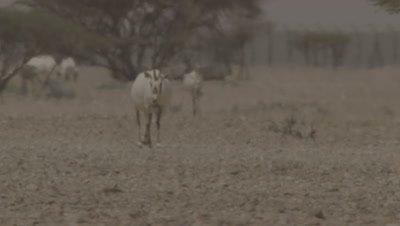 Arabian Oryx Walking In Heat Haze