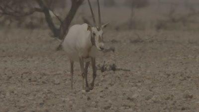 Arabian Oryx Walking In Desert Heat Haze