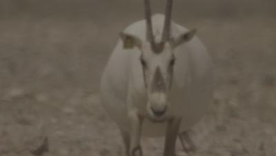 Very Broad Arabian Oryx Walking In Desert Heat Haze,Possibly Pregnant