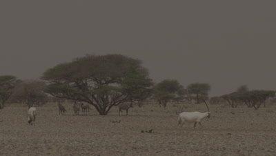 Arabian Oryx Walking Around Desert Trees