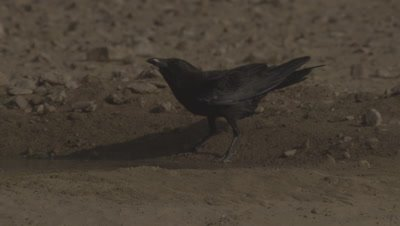Fan-tailed Raven Drinks at Watering Hole