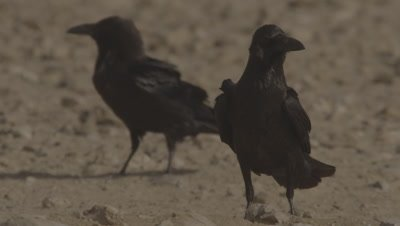 Fan-tailed Ravens at Watering Hole