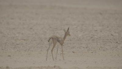 Arabian Mountain Gazelle Calf Walking in Desert