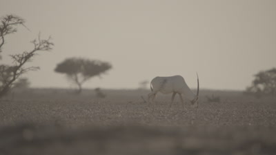 Male Oryx With Heat Haze,Origin of Unicorn Myth