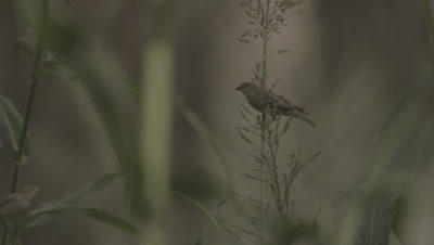 Bird Perched in Grass,Possibly Rüppell's weaver