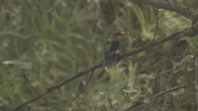 Bird,Possibly Grey-headed Kingfisher,Lands on Branch,shakes off Water