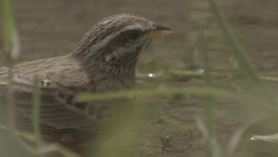 Bird Bathes in Water,Possibly Ruppell's Weaver Bird