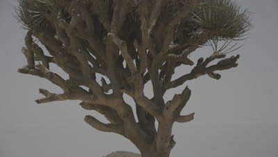 Tilt Up Lone Frankincense Tree in Desert