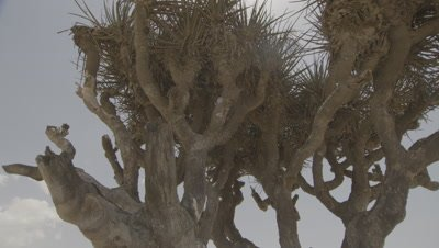Lone Frankincense Tree in Desert