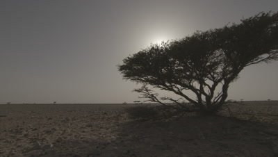 Dolly shot,Lone Acacia Tree Backlit by Sunset in Desert