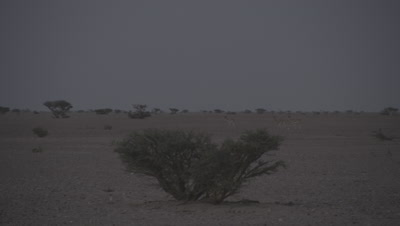 Arabian Mountain Gazelle in Desert At Dusk