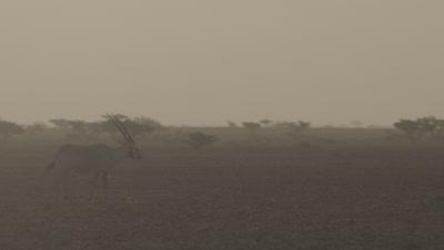 Oryx Grazing In Desert Landscape
