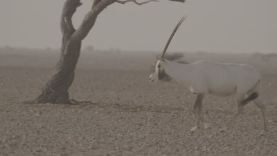 Arabian Oryx Walks In Desert Landscape