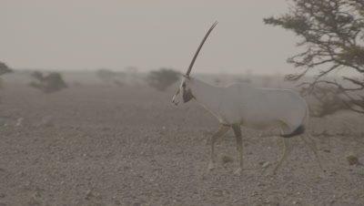 Arabian Oryx Grazing In Desert Landscape