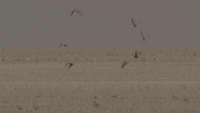 Flock Of Sandgrouse Take off Flying