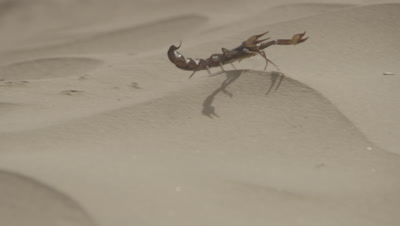 Yellow Scorpion Crawling Across Sand