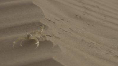 Yellow Scorpion Runs Across Sand Dune