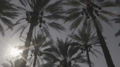 Sun Shines through Date Palms in Plantation