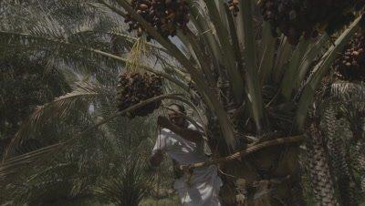 Crane Shot,Man Climbs Tree to Harvest Dates in Plantation