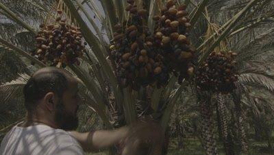 Crane shot Following Man Climbing Tree to Harvest Dates in Plantation