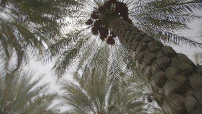 Man Prepares to Climb Tree to Harvest Dates in Plantation