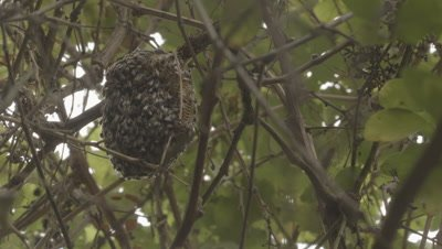 Looking up to Beehive With Bees in tree