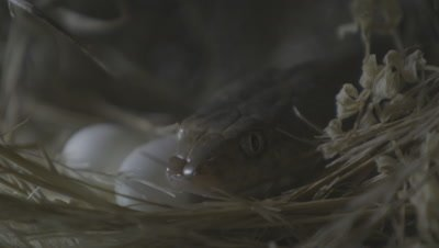 Arabian Cat Snake Inside Weaver Bird Nest with Eggs