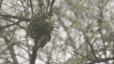 Ruppell's Weaver Male Building Nest