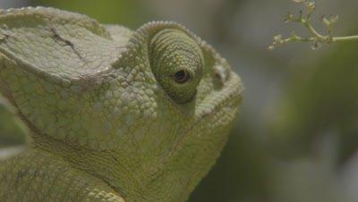Close up,Arabian Chameleon in Tree,rotates eye