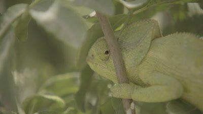 Arabian Chameleon in Tree,Side View of Rotating Eye