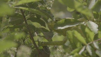 Arabian Chameleon hides among leaves of Tree