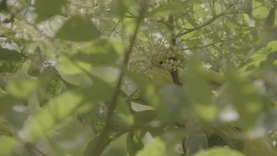 Arabian Chameleon Crawls,hides among leaves of Tree