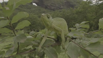 Arabian Chameleon Rests at top of Tree